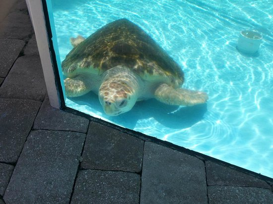 Loggerhead Marinelife Center: one of the temporary resident turtles