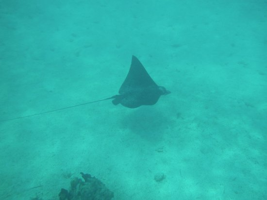 Windsong Resort: Eagle ray seen snorkeling in front of Windsong