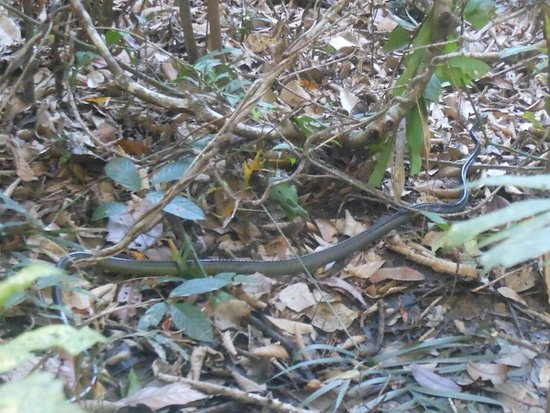 Tapiche Reserve: Bushmaster snake