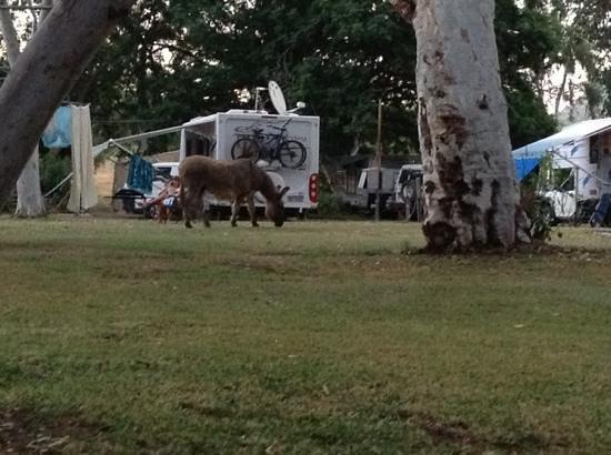 Wyndham Caravan Park: harmless donkey walking anout the park