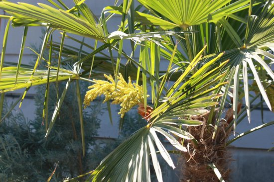 Cherry Chalet: Our palm tree is blooming!