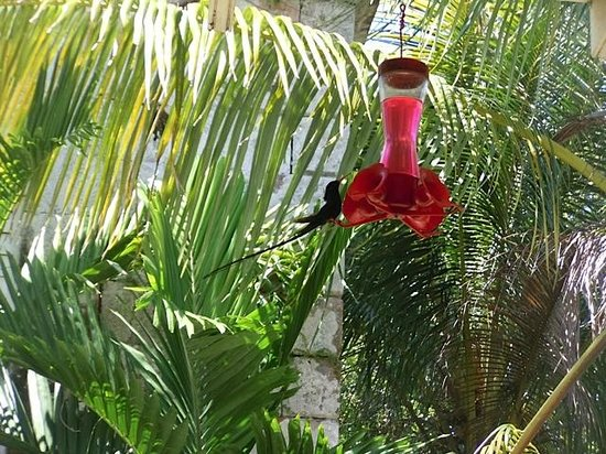 Good Hope Plantation: Black hummingbird feeding during lunch.