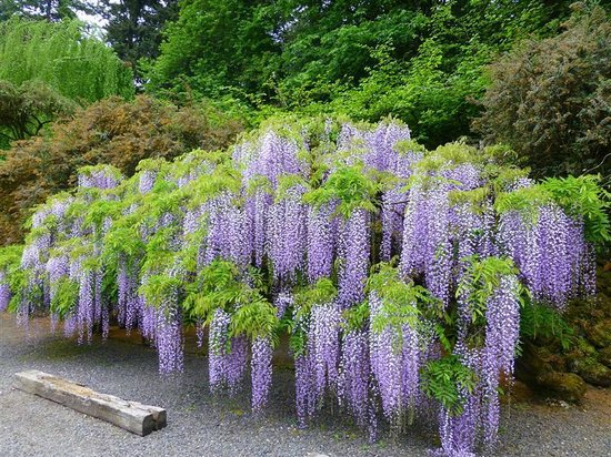 wisteria picture of elk rock garden portland tripadvisor - Elk Rock Garden