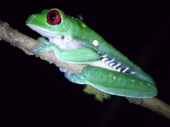 Esquinas Rainforest Lodge: Rotaugenpfeilgiftfrosch