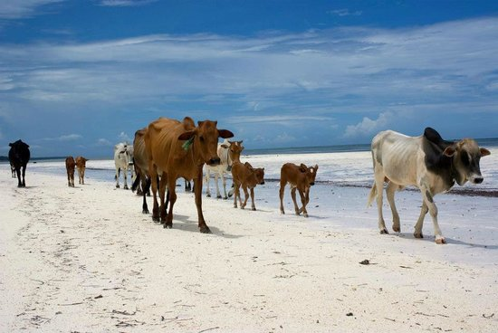 Stone Town, Tanzania: Zanzibar, East Coast - Cows on the Beach