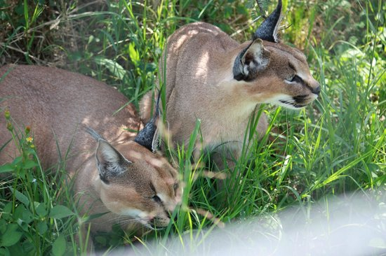 Rain Farm Game and Lodge : Caracal Pair