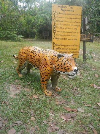Jaguar information - Picture of Cockscomb Basin Wildlife Preserve ...