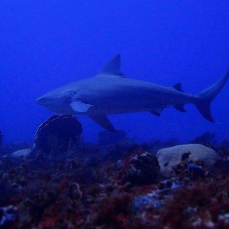 Fantasea Dive - Diving & Adventures : Bull shark dive