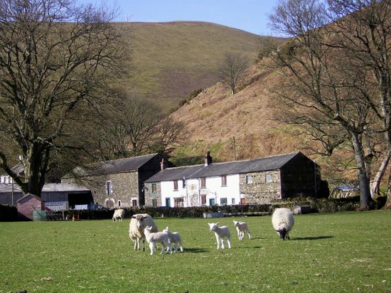 Ewes & lambs sunny spring day at Mosedale