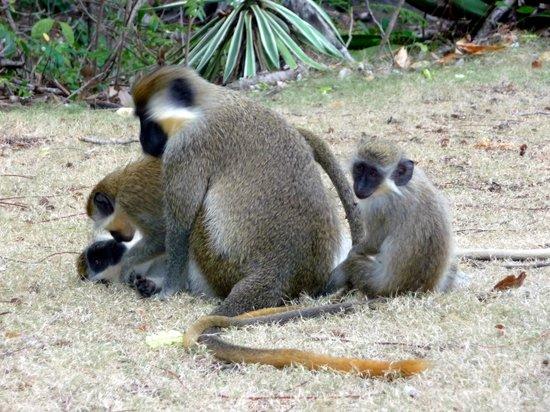 Maxwell Beach: Green monkies at Maxweel beach park