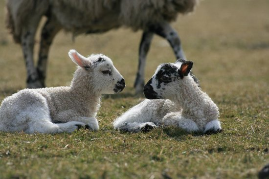 Mosedale End Farm Bed and Breakfast & Glamping Pod: Spring Mule lambs.