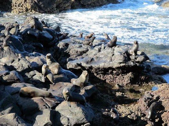 Akaroa Seal Colony Safari: furseals everywhere