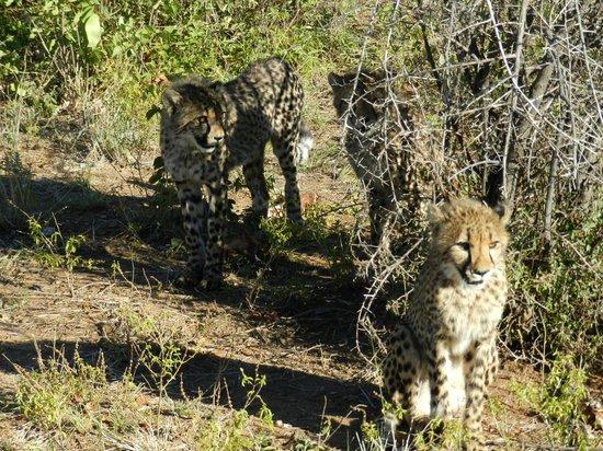 Lodge at Otjitotongwe Cheetah Park: Die Geparden im Aussengehege