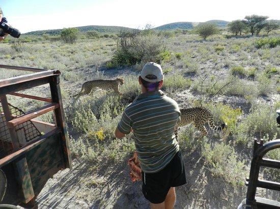 Lodge at Otjitotongwe Cheetah Park: Bei der Fütterung der wilden Geparden im Aussengehege