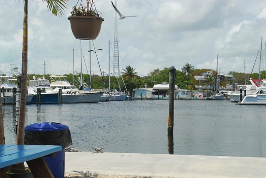 Manatees visiting the cafe and retail market picture of for Key largo fish market