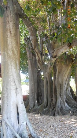 Banyan House Vacation Rentals: This banyan tree was standing right next to my deck.