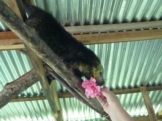 Toucan Rescue Ranch : Leslie showing us that the procupines like to eat flowers