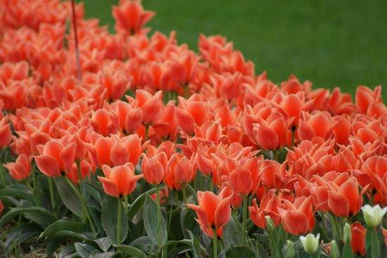 Veldheer Tulip Garden: Tulips-4