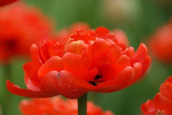 Veldheer Tulip Garden: Tulips-2