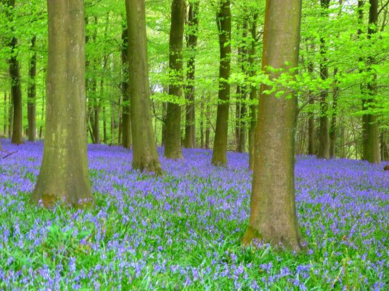King's Wood: the smells of the blue bells are wonderful