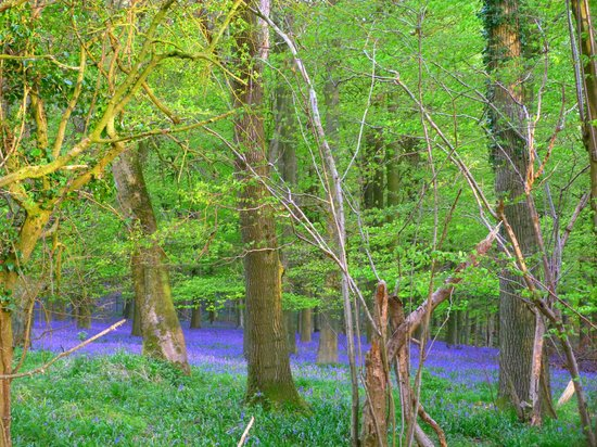 King's Wood: blue and blue