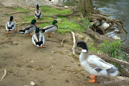 Econo Lodge Riverside: ducks by the river