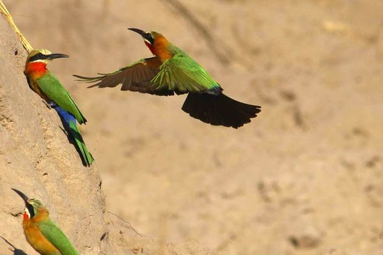 Pangolin Voyager Houseboat: white collared bee eater