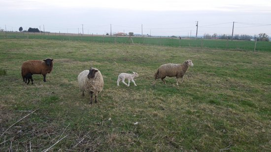 Clos Semper Felix : sheep