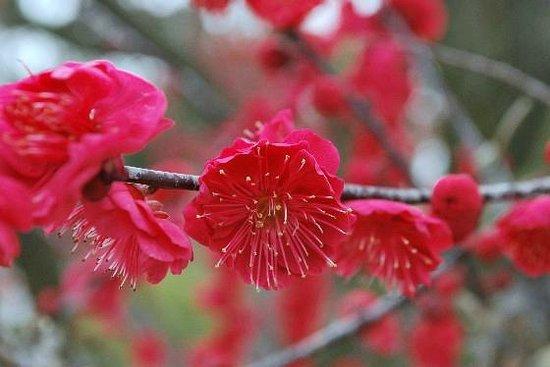 Yuki Shrine: 3月の梅園
