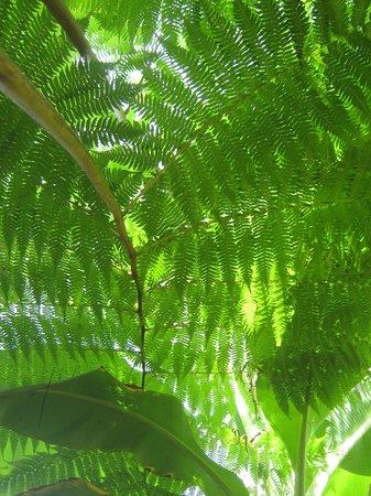 Citrus Creek Plantation ferns
