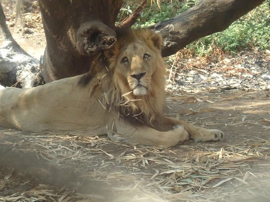 Silvassa Vasona Lion Safari