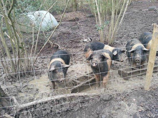 Oakside Lodge: piggies