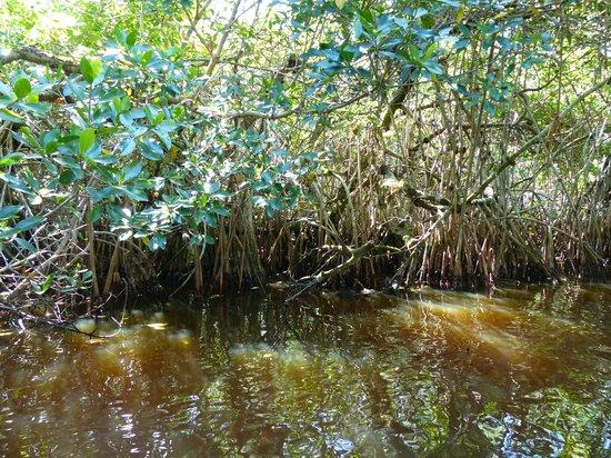 Tour the Glades - Private Wildlife Tours : La mangrove dans un tunnel