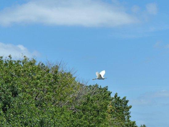 Tour the Glades - Private Wildlife Tours : Un bel oiseau blanc