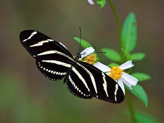 Great Florida Birding and Wildlife Trail: Zebra Heliconian, Florida's state butterfly, by David Moynahan/FWC