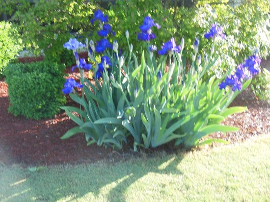 Inn at Pickwick Landing: Lovely iris growing there