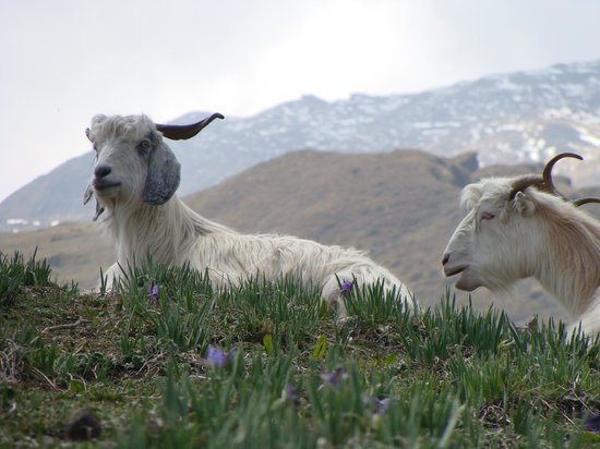 Joshimath, India: Goats of Gorson