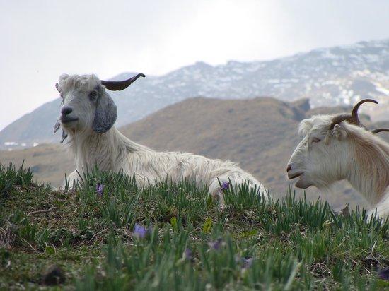 Джошиматх, Индия: Goats of Gorson