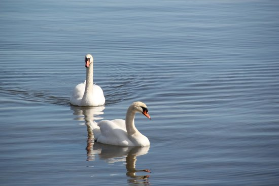 Djurgården: Swans