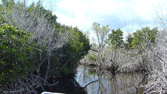 Everglades City Airboat Tours : La mangrove