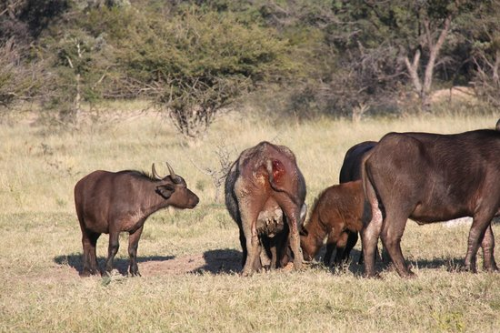 Ant's Hill & Ant's Nest: de buffel met de wond, die behandeld moet worden anders zal zij sterven
