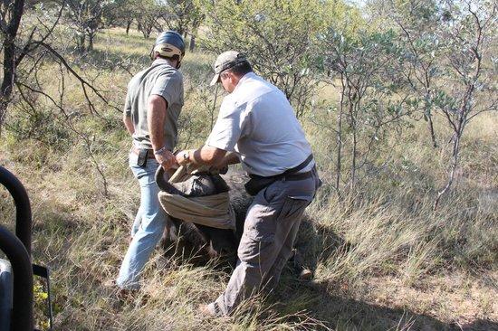 Ant's Hill & Ant's Nest: de buffel wordt geblinddoekt nadat zij onder narcose is gebracht, dit moet omdat de ogen niet sl