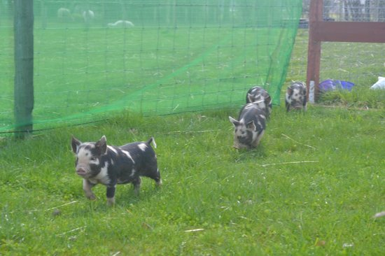 Robertson's The Larder Tomich Farm Shop and Childrens Farm: THE PIGLETS ON THE RUN
