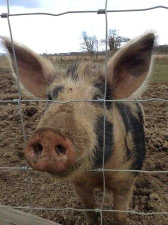 Robertson's The Larder Tomich Farm Shop and Childrens Farm: SPARTIE THE PIG HAD 4 PIGLETS APRIL2013