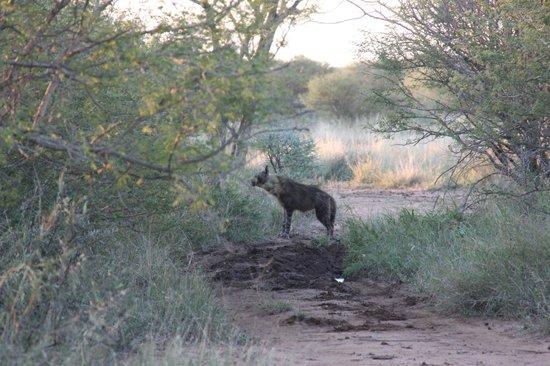 Jaci's Tree Lodge: Hyena