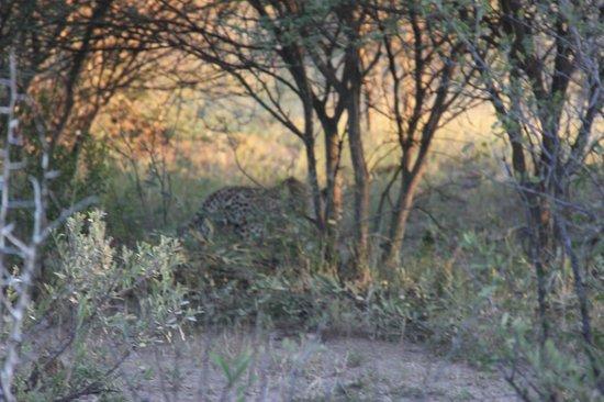 Jaci's Tree Lodge: ja, 't is even zoeken maar het is hem echt hoor het luipaard