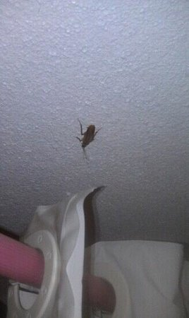 Stagecoach Inn: Roach on ceiling.