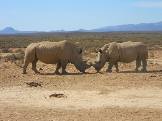Inverdoorn Game Reserve Safaris: Playing Rhinos