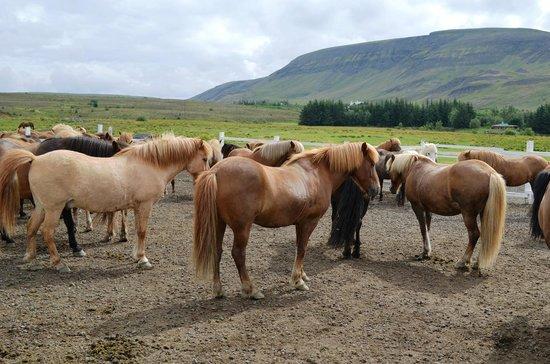 Laxnes Horse Farm: Horses