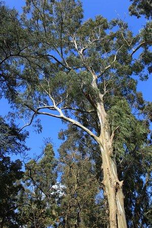 Mount Usher Gardens: eucalyptus